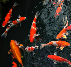 Koi pond kits