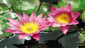 Water Lilies - Day